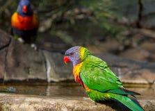 Regenbogen lorikeets, die am Rand des Vogelbades sitzen Stockfotografie