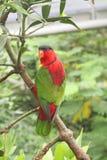 Regenbogen-Papagei Lori auf einem Regenwald-Zweig Stockfotografie