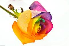 Regenbogen Rose Lizenzfreie Stockfotografie