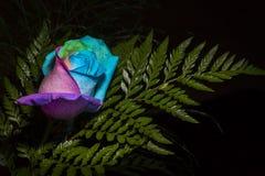 Regenbogen Rose Stockbild