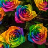 Regenbogen-Rosen Vielzahl- und Verschiedenartigkeitskonzept stockbild