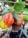 Regenbogen-Surinam-Kirsche lizenzfreie stockfotos