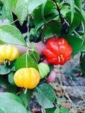Regenbogen-Surinam-Kirsche Stockfotos