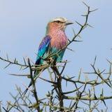 Regenbogen-Vogel Stockbilder