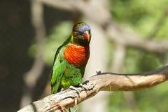 Regenbogen-Vogel Stockbild