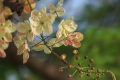 Regenbogenduschbaum in der Natur lizenzfreie stockfotos