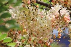 Regenbogenduschbaumkassie blüht die schöne Farbe, die auf t blüht Lizenzfreie Stockfotografie