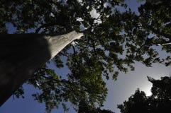 Regenbogeneukalyptus Lizenzfreies Stockbild