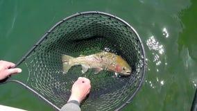 Regenbogenforelle im Fischernetz stock footage