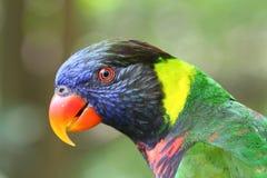 Regenbogenlory-Seitenprofil Lizenzfreies Stockfoto