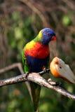 Regenboog die lorikeet een appel eet stock foto