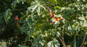 Regenboog die lorikeet vanaf Illawarra-vlamboom vliegen Royalty-vrije Stock Afbeeldingen