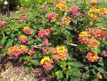 Regenboog Lantana met groene bladeren stock foto's