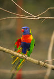 Regenboog Lorikeet Royalty-vrije Stock Afbeelding