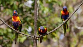 Regenboog lorikeet in de bladeren van een Illawarra-Vlamboom Royalty-vrije Stock Foto's
