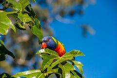 Regenboog lorikeet in een Illawarra-Vlamboom wordt neergestreken 2 die Royalty-vrije Stock Foto's