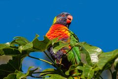 Regenboog lorikeet in een Illawarra-Vlamboom wordt neergestreken 3 die Stock Foto's