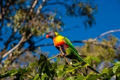 Regenboog lorikeet in een Illawarra-Vlamboom wordt neergestreken 4 die Royalty-vrije Stock Fotografie