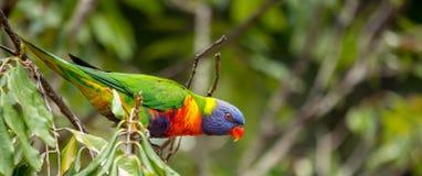 Regenboog lorikeet klaar voor vlucht stock foto