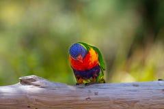 Regenboog lorikeet op een logboek royalty-vrije stock fotografie