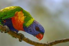 Regenboog lorikeet op een takje royalty-vrije stock foto's