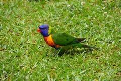Regenboog Lorikeet op Gras royalty-vrije stock foto's