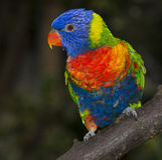 Regenboog lorikeet papegaai Stock Fotografie