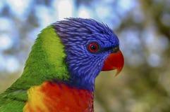Regenboog lorikeet in profiel stock afbeeldingen