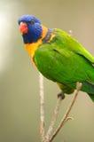 Regenboog Lorikeets Stock Foto
