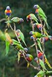 Regenboog lorikeets in de regen. Stock Foto