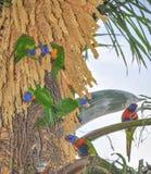 Regenboog Lorikeets: Tropische Lunch Royalty-vrije Stock Afbeeldingen