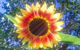 Regenboog op de zonnebloem Stock Afbeelding