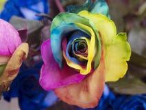 Regenboog roser dichte omhooggaand Royalty-vrije Stock Foto