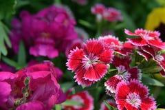 Regenboog roze chinensis Dianthus royalty-vrije stock afbeelding