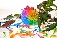 Regenboogbloemen Stock Afbeeldingen