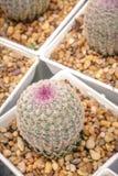 Regenboogcactus Royalty-vrije Stock Foto