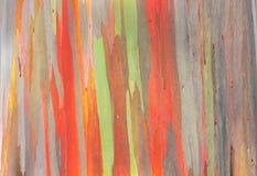 Regenboogeucalyptus Stock Afbeelding