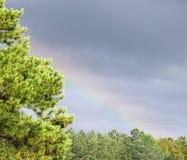 Regenboogpijnboom royalty-vrije stock foto