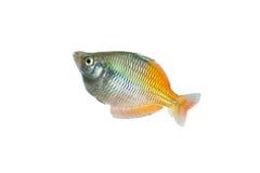 Regenboogvissen stock foto