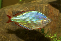 Regenboogvissen Royalty-vrije Stock Afbeelding