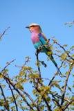 Regenboogvogel stock foto