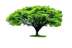 Regenboom op witte achtergrond wordt geïsoleerd die Stock Afbeelding