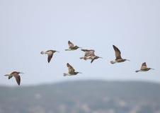 Regenbrachvögel im Flug Lizenzfreie Stockfotos