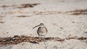 Regenbrachvogelufervogel auf dem Strand Stockfotografie