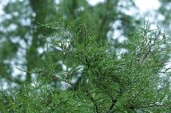 Regendalingen in naalden van een Californische sequoiaboom stock fotografie