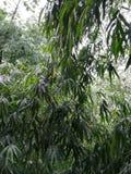 Regendalingen op bladeren van bamboeboom Stock Fotografie
