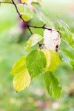 Regendalingen op bladeren van boxelderesdoorn Royalty-vrije Stock Afbeelding