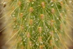 Regendalingen op cactus stock afbeeldingen