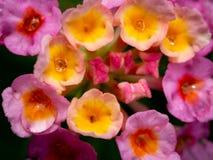 Regendalingen op de Gele Roze Haagbloemen die worden neergestreken stock afbeeldingen