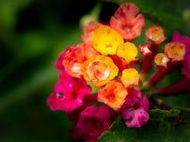 Regendalingen op de Gele Roze Haagbloemen die worden neergestreken royalty-vrije stock foto